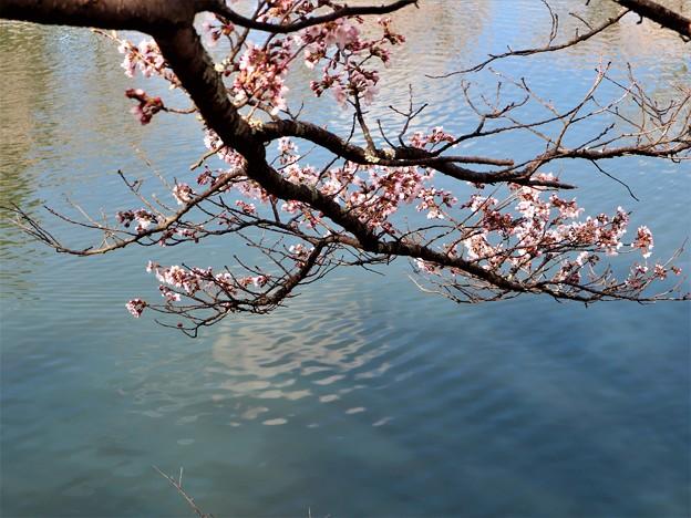 つつみの桜5