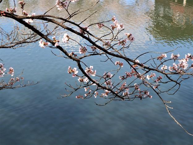 みなもの桜