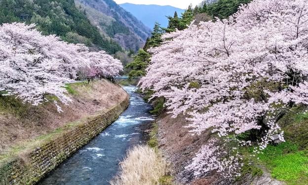 島々谷の桜