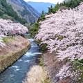 Photos: 島々谷の桜