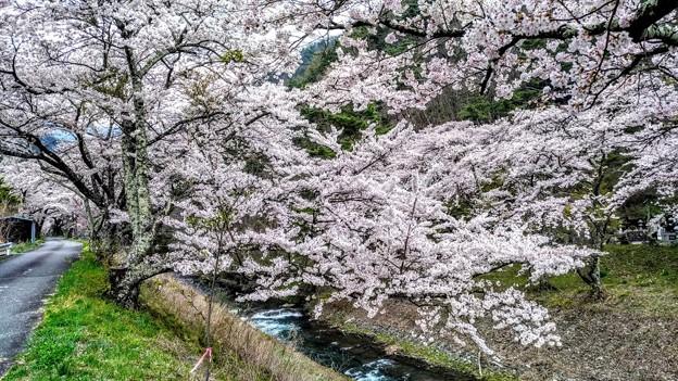 島々谷の桜1