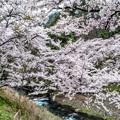 Photos: 島々谷の桜1