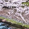 島々谷の桜2