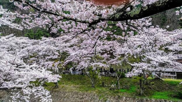 島々谷の桜3