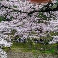 Photos: 島々谷の桜3