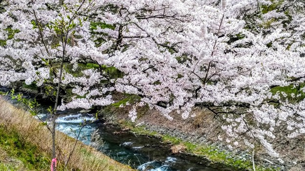 島々谷の桜5