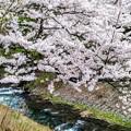 Photos: 島々谷の桜5