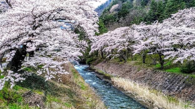 島々谷の桜8