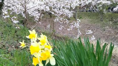 島々谷の桜9