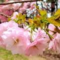 Photos: 公園桜