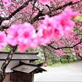諏訪大社の桜4