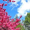 諏訪大社の桜1
