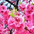 諏訪大社の桜