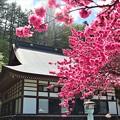 諏訪大社の桜5