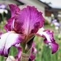 Photos: うす紫