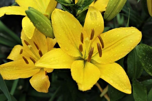 百合の花(黄色)