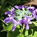 Photos: 珍しい紫陽花