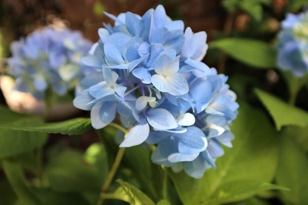 山紫陽花1