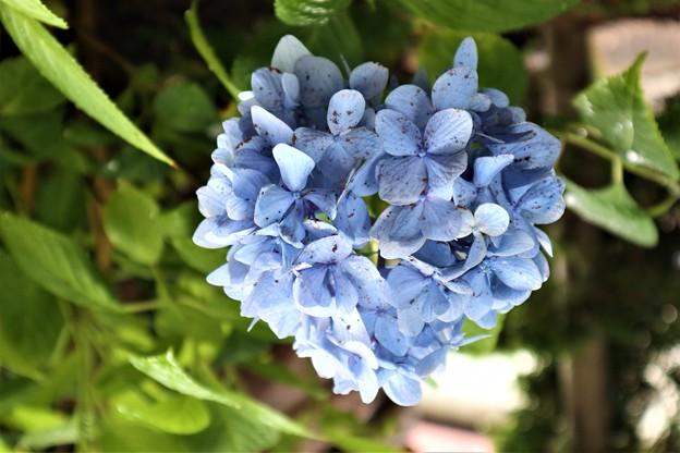 ハート型 紫陽花