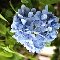 Photos: ハート型 紫陽花