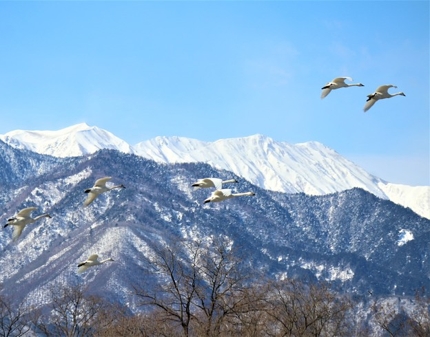 Photos: アルプス白鳥1