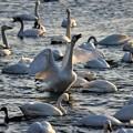 Photos: 白鳥の声