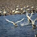 Photos: 3羽白鳥