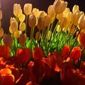 写真: 江ノ島ウインターチューリップ #湘南 #藤沢 #海 #波 #江ノ島 #enoshima #チューリップ #花 #flower