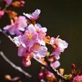 河津桜 #湘南 #鎌倉 #kamakura #寺 #mysky #花 #桜