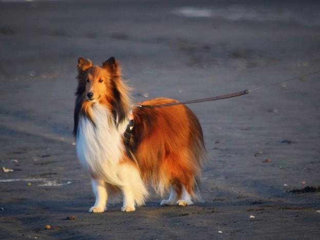 お散歩ワンコ@湘南・鵠沼海岸 #湘南 #藤沢 #海 #surfing #wave #mysky #animal #dog #犬