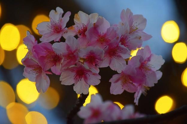 江ノ島の河津桜 #湘南 #藤沢 #海 #surfing #江ノ島 #イルミネーション #桜 #flower #illumination
