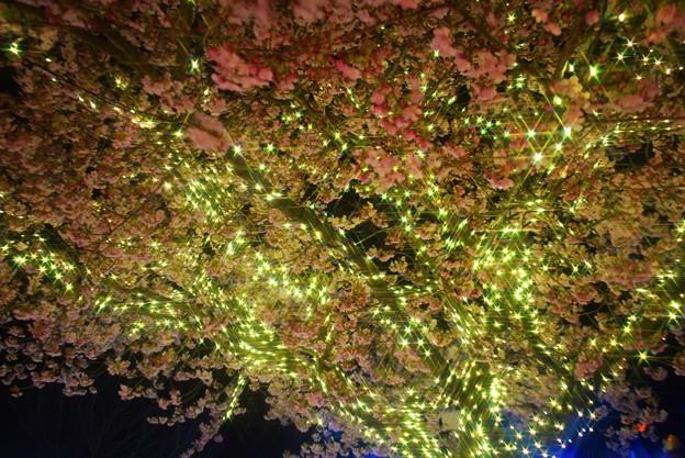 江ノ島の河津桜とイルミネーション #湘南 #藤沢 #海 #surfing #江ノ島 #イルミネーション #桜 #flower #illumination