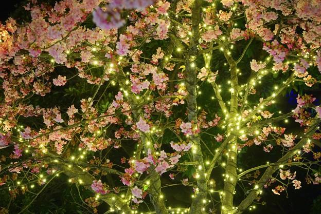 満開の河津桜のイルミネーション@江ノ島 #湘南 #藤沢 #海 #surfing #江ノ島 #イルミネーション #桜 #flower #illumination