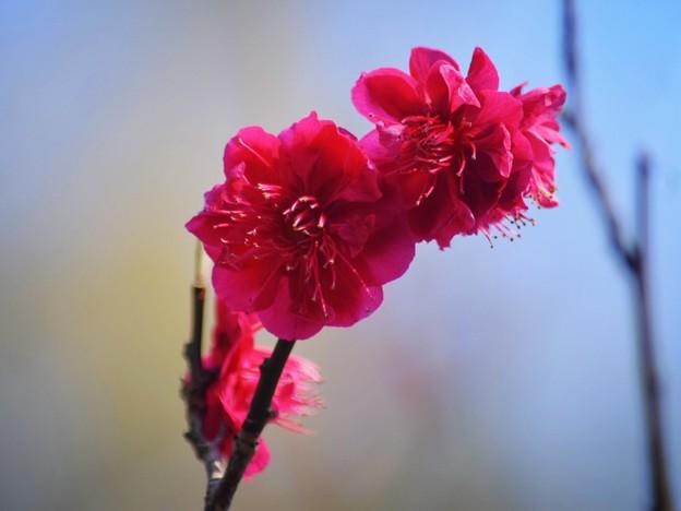 報国寺紅梅 #鎌倉 #kamakura #temple #寺 #mysky #花 #flower