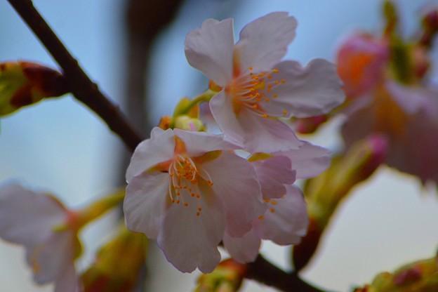 若宮大路の玉縄桜 #鎌倉 #kamakura #寺 #temple #flower #花 #桜 #cherryblossam