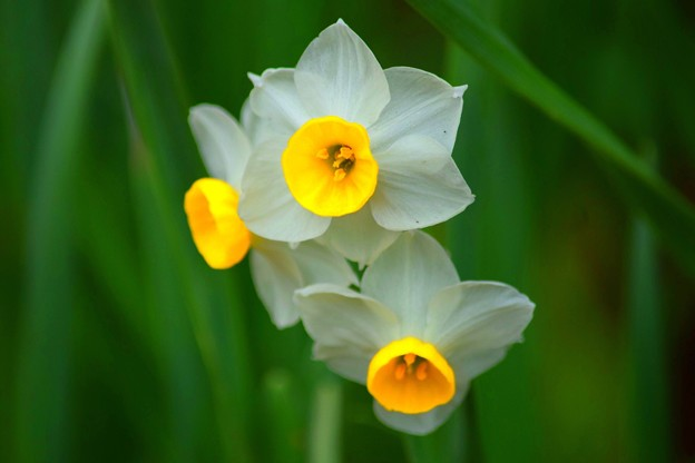 浄智寺の水仙 #湘南 #鎌倉 #kamakura #寺 #temple #花 #flower