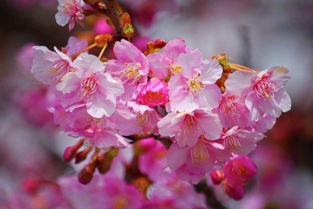 浄智寺の河津桜 #湘南 #鎌倉 #kamakura #寺 #temple #花 #flower #桜 #cherryblossom #サクラ