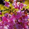 満開の河津桜 #湘南 #鎌倉 #kamakura #寺 #temple #花 #flower #桜