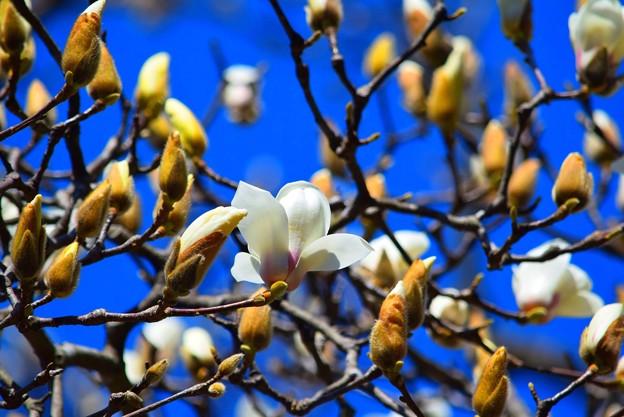 白木蓮@円覚寺 #湘南 #鎌倉 #kamakura #mysky #寺 #temple #花 #flower