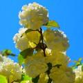 大手毬 #鎌倉 #湘南 #kamakura #mysky #flower #花