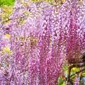 満開の藤 #鎌倉 #湘南 #kamakura #mysky #flower #花 #藤