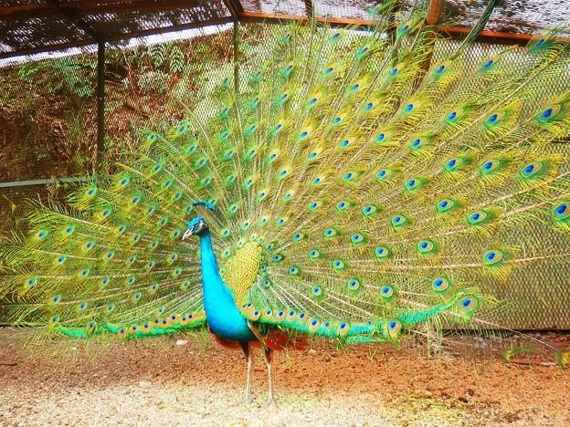 光則寺の孔雀 #湘南 #鎌倉 #kamakura #寺 #temple #bird #鳥 #peacok
