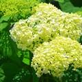 光明寺の紫陽花アナベル #湘南 #鎌倉 #kamakura #寺 #花 #flower #紫陽花