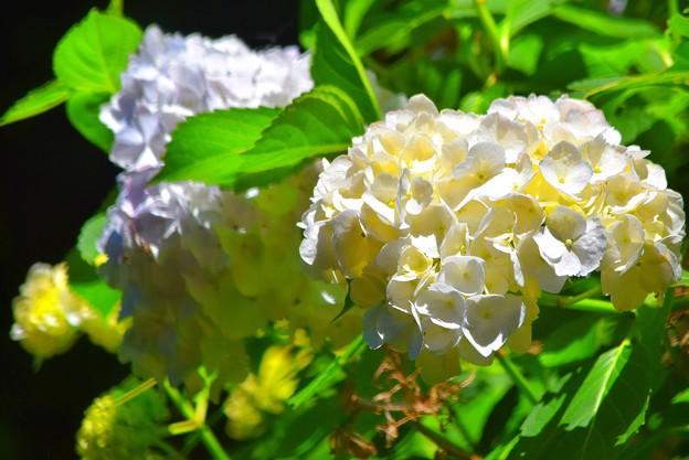 咲き誇る光明寺の紫陽花 #湘南 #鎌倉 #kamakura #寺 #花 #flower #紫陽花
