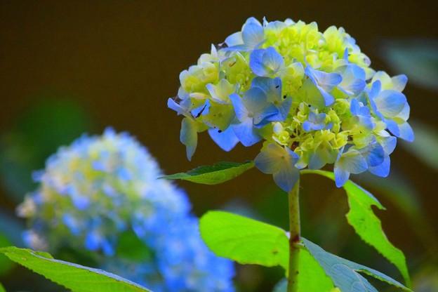咲き始めの光明寺の紫陽花 #湘南 #鎌倉 #kamakura #寺 #花 #flower #紫陽花