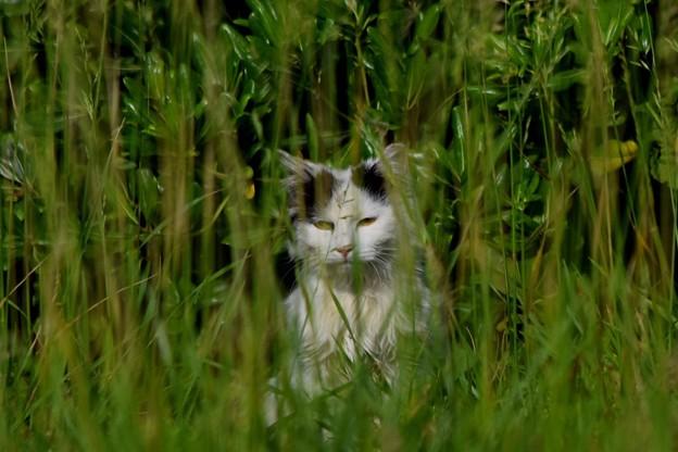 草むらの中のニャンコ@湘南・鵠沼海岸 #湘南 #藤沢 #海 #波 #wave #surfing #mysky #animal #猫 #cat