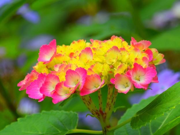 開花した紫陽花@湘南・鵠沼海岸 #湘南 #藤沢 #花 #flower #アジサイ