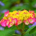 写真: 開花した紫陽花@湘南・鵠沼海岸 #湘南 #藤沢 #花 #flower #アジサイ