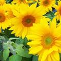 写真: 開花した向日葵@湘南・鵠沼海岸 #湘南 #藤沢 #ひまわり #flower #花 #向日葵
