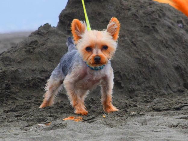 お散歩ワンコ@湘南・鵠沼海岸 #湘南 #藤沢 #海 #波 #wave #dog #mysky #犬 #animal